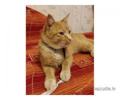 Ruds kaķis