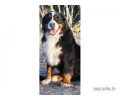 Madonā pazudis Bernes ganu suns Aspens