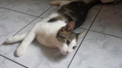 atrasts kaķis