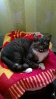 Pazudis pelēki strīpains kaķis ar baltām ķepiņām un krādziņu Mārupē, Zeltrītu ielā 24