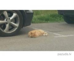 Manīts Ruds garspalvains kaķis