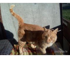 pieklīdis ruds kaķis