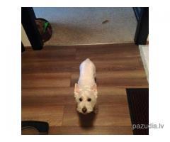 Пропала собака Вестик